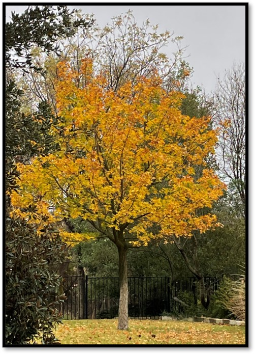Tree with yellow fall leaves
